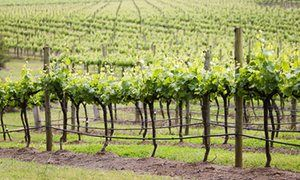 Grape vines grow in a field in Lovedale, in the Hunter Valley.