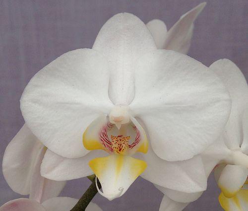 Phalaenopsis I-Hsin Snow Ball (Be White x amabilis) Z-21388 ...