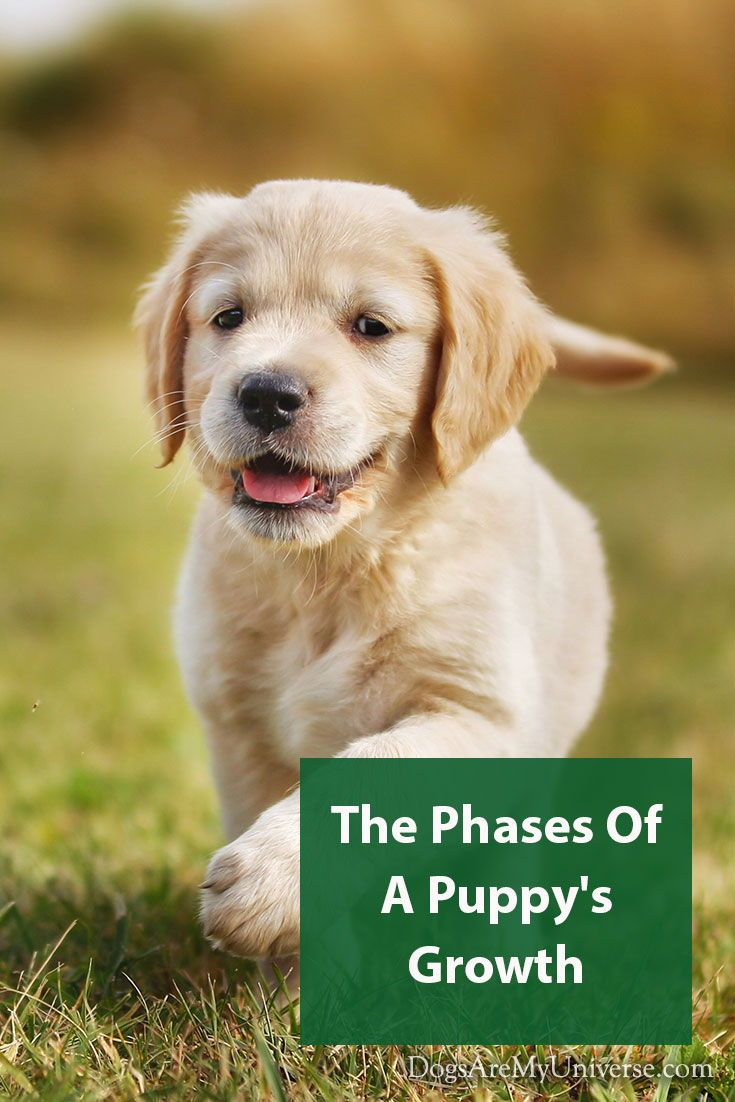 The Stages Of Puppy Development Puppies Pets Retriever Puppy