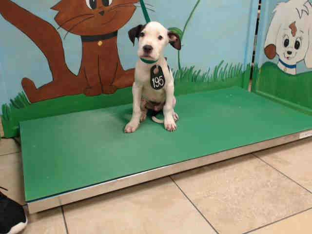 ***EXTREMELY URGENT- PUPPY ALERT! 7/9/17 local foster needed❗~ HOUSTON TX- This DOG - ID#A486887 I am a male, white and brown Mastiff. The shelter staff think I am about 13 weeks old. I have been at the shelter since Jun 24, 2017. Harris County Public Health and Environmental Services.