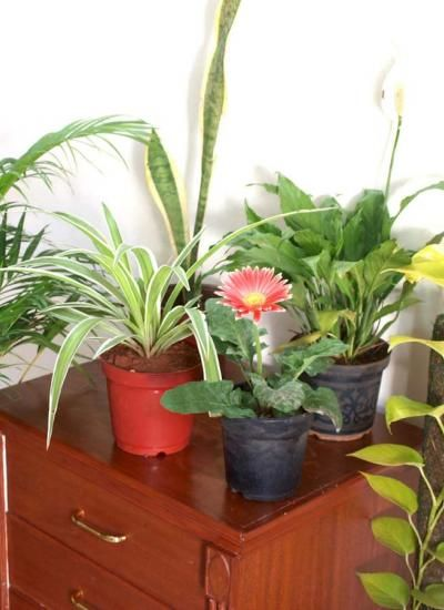 Air Purifying Plants For Bedroom: 8 Best Images About Air Purifying Plants On Pinterest