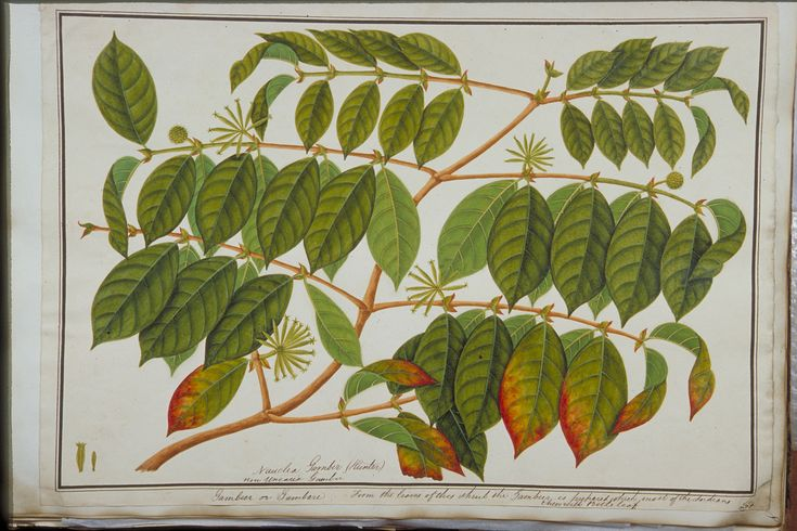 Gambier, William Farquhar Collection of Natural History Drawings, 1803-1818, Watercolour on paper, Collection of National Museum of Singapore, Gift of Mr. G. K. Goh.