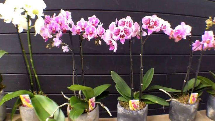 Πως ποτίζεται η ορχιδέα - How to water orchids phalaenopsis