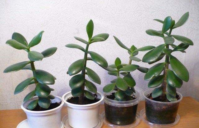 Vslovenských domácnostiach je táto rastlina veľmi populárna, no ľudia neraz nepoznajú jej blahodarné účinky. Okrem toho, že je nenáročná na pestovanie, dokážete ju poľahky rozmnožiť, je príjemná apekná na pohľad aokrem toho lieči. Viete oakej rastline je reč? Rastlina zrodu Crassula je unás známa predovšetkým ako tučnolist. Radíme ju do čeľade Crassulaceae a názov pochádza …