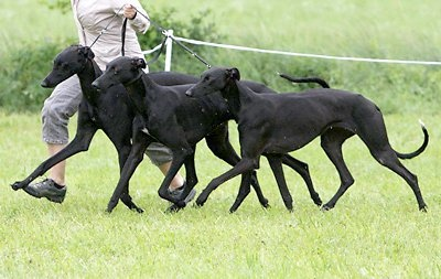 I love black greyhounds!!!