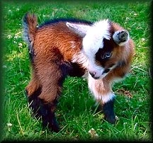 Nigerian Dwarf baby.  I want a goat! and this one is just too, too cute!