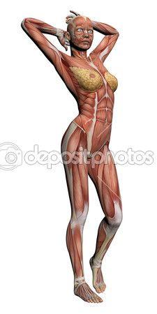 Anatomía humana - músculos femeninos — Foto stock © vitanovski #25889335