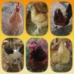 Choosing the right chicken breed 1