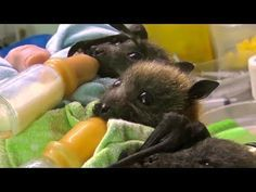 Orphaned Bat Pups Cared for in Australian Clinic. One of the cutest things I have ever seen. I want one!!!