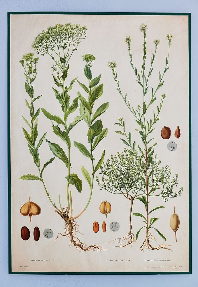Vintage school botanical poster with three plants. Good condition. Rare poster.