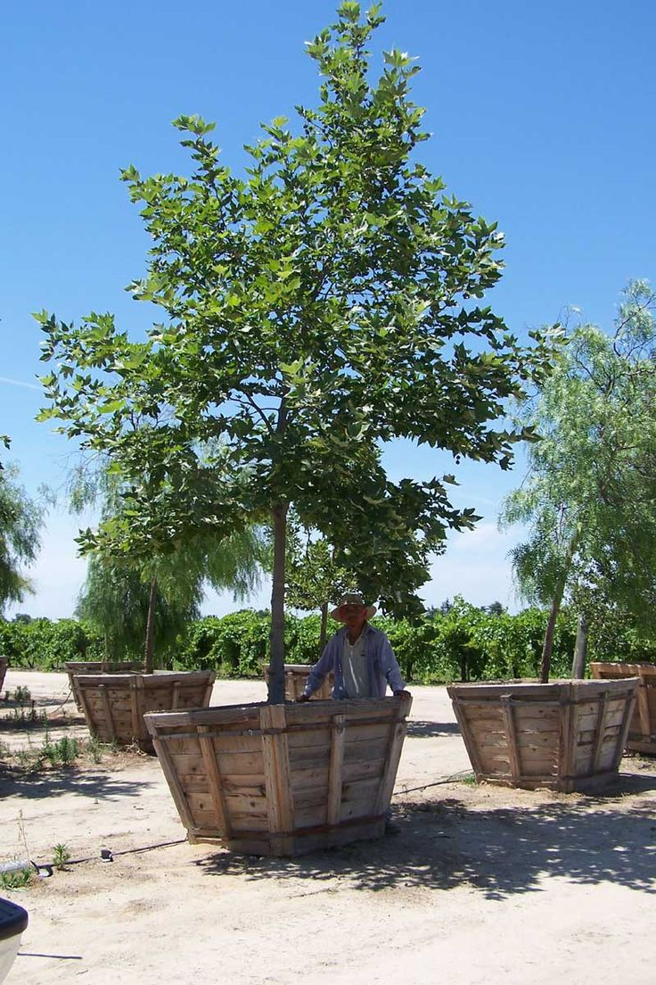 California Sycamore Large Container Backyard Trees