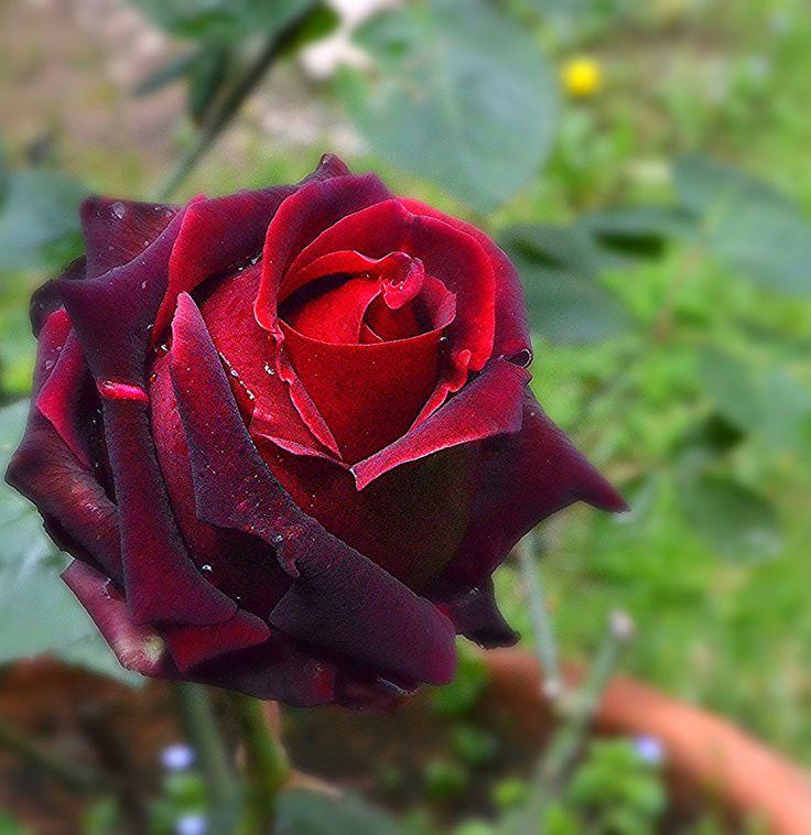 """Rose """"Magia nera"""""""