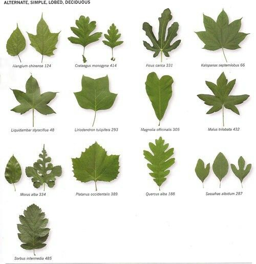Листья лиственных деревьев фото с названиями