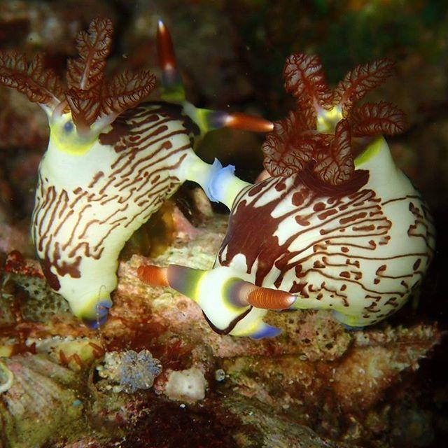 Mating Nudibranchs - exploring Molo Strait - Let's Macro #indonesia #flores #komodo #molostrait #mating #nudibranch #nudilovers #macro  #colors #scuba #scubaba #livetoscuba #underwaterphotography #olympus #padi #scubapro #instadive #nofilter #scubashootersundays