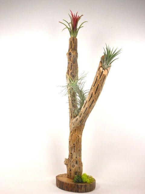 Cholla Cactus Skeleton Uses   Zef Jam