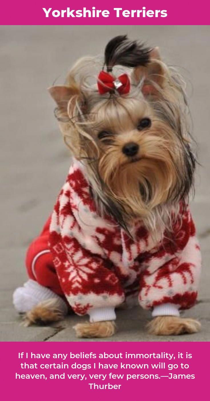 Yorkshire Terrier Energetic And Affectionate Yorkshire Terrier Yorkie Yorkshire Terrier Puppies