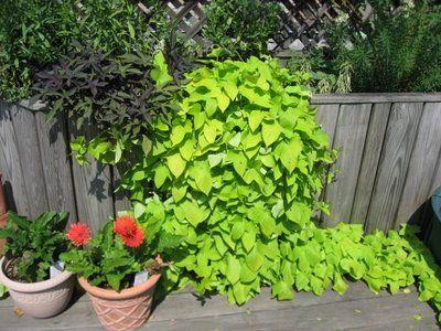 1000 Ideas About Potato Vines On Pinterest Sweet Potato Plant Sweet Potato Slips And Growing
