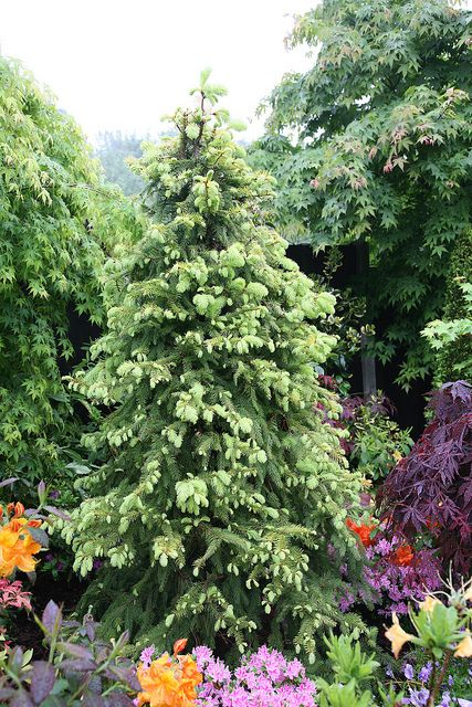 Magnificent Golden Norway Spruce