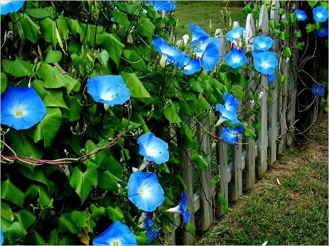 40 Best And Beautiful Climbing Flowers For Fences Ideas In 2020 Climbing Flowers Patio Flowers Morning Glory Flowers