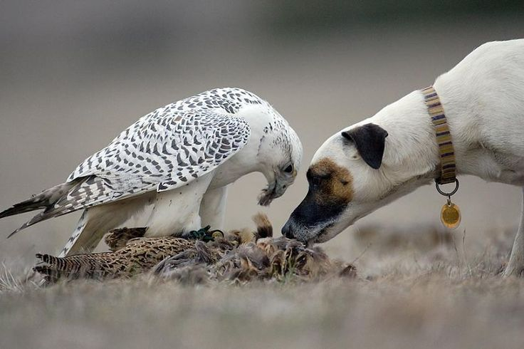 falconry | Falconers bird and dog | Falconry Birds ...