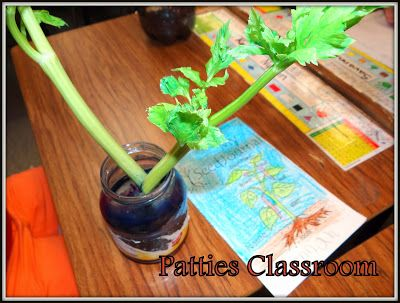 PATTIES CLASSROOM:We read Jack and the Beanstalk, made Terrariums for our Plants and Seeds unit from a 2 liter bottle and did Plant experiments with celery and food coloring. #Plants