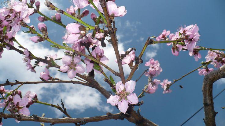 Flowering peach tree