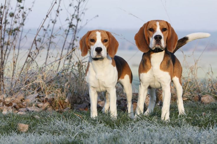 Beagle Short Haired Dog Breeds - Dog Breeds Puppies : Short Haired ...