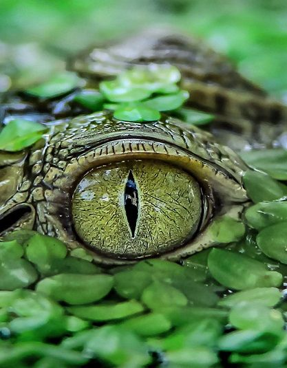 A baby crocodile camouflaged among weed[s] in a pond, Tangerang, Indonesia by Yensen Tan - telegraph.co
