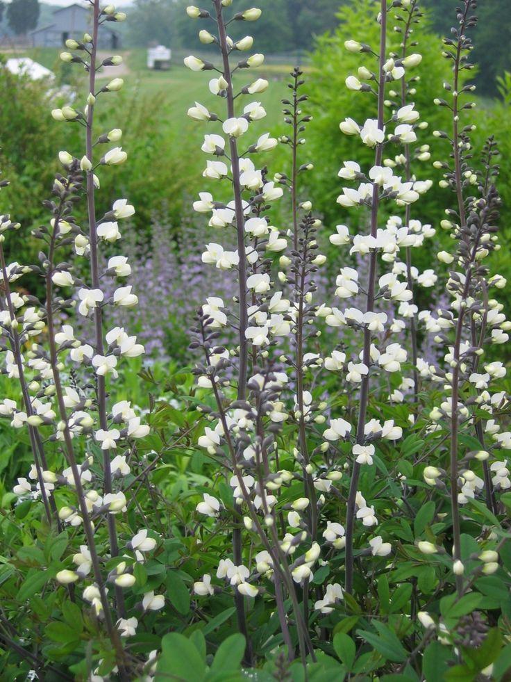 Baptisia alba (pendula, leucantha), Indigo, White Wild