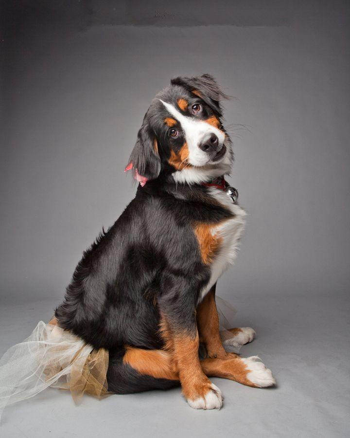 Bernese Mountain Dog - Marley on the Roster for Hot Paws Talent