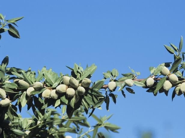 Learn some helpful tips on growing almonds, chestnuts, pecans and hazelnuts.