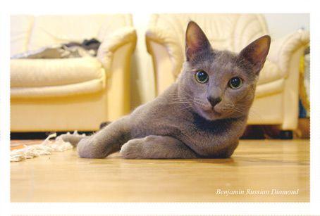 CATS-форум :: Просмотр темы - Русские голубые кошки - 4