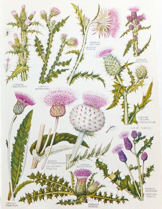 Thistles, Botanical Drawings, two vintage flower illustrations, old botanical…