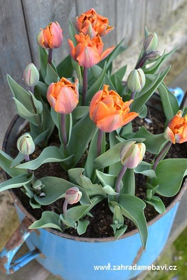 Tulip ´Orange Princess´ in pot