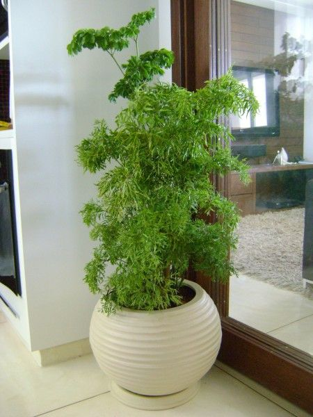 Vaso em resina de polietileno com espécie Árvore da felicidade