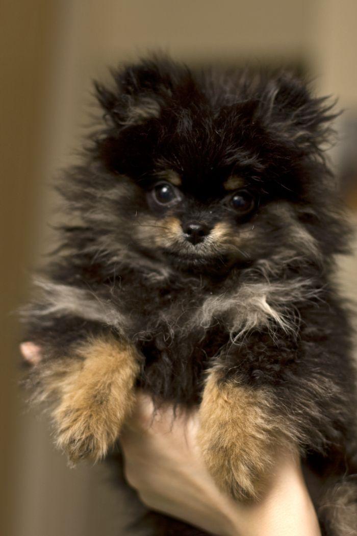 176 Best Precious Pomeranians Images On Pinterest