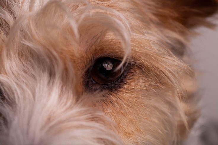 fuck yeah Fox Terrier! : Photo