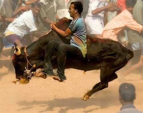 #Travel #guide: Jallikattu- A Bull Festival It is arranged in Madurai, Tiruchirapalli and Tanjavur on The day of #Pongal festival. Bundles of money are tied to the horns of ferocious bulls, which the villagers try to retrieve.