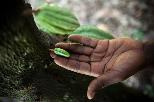 Cabosse de #cacao, notre nouvelle #recette au cacao #bio de #Tanzanie #les2vaches