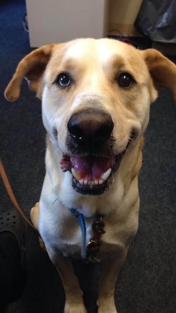 10/17/15-Meet Rebel, a Petfinder adoptable Labrador Retriever Dog | Mansfield, OH | Hi there, my name is Rebel. I came to the shelter as a stray on 6-25-15. I was found in the...