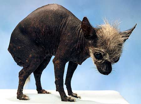 Old Ugly Chihuahua Google Search Chihuahua Character