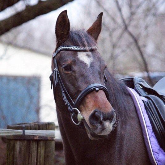 Mausi im Winter in #heinick #trense #pferdeoutfit #pferd #instahorse #horse #pferdetrends #schabracke #brhhs #sattel #dressursattel #kieffer #brauner #stute #jungpferd #jungspund  Am Wochenende wollen wir mal wieder ein paar neue Bilder machen