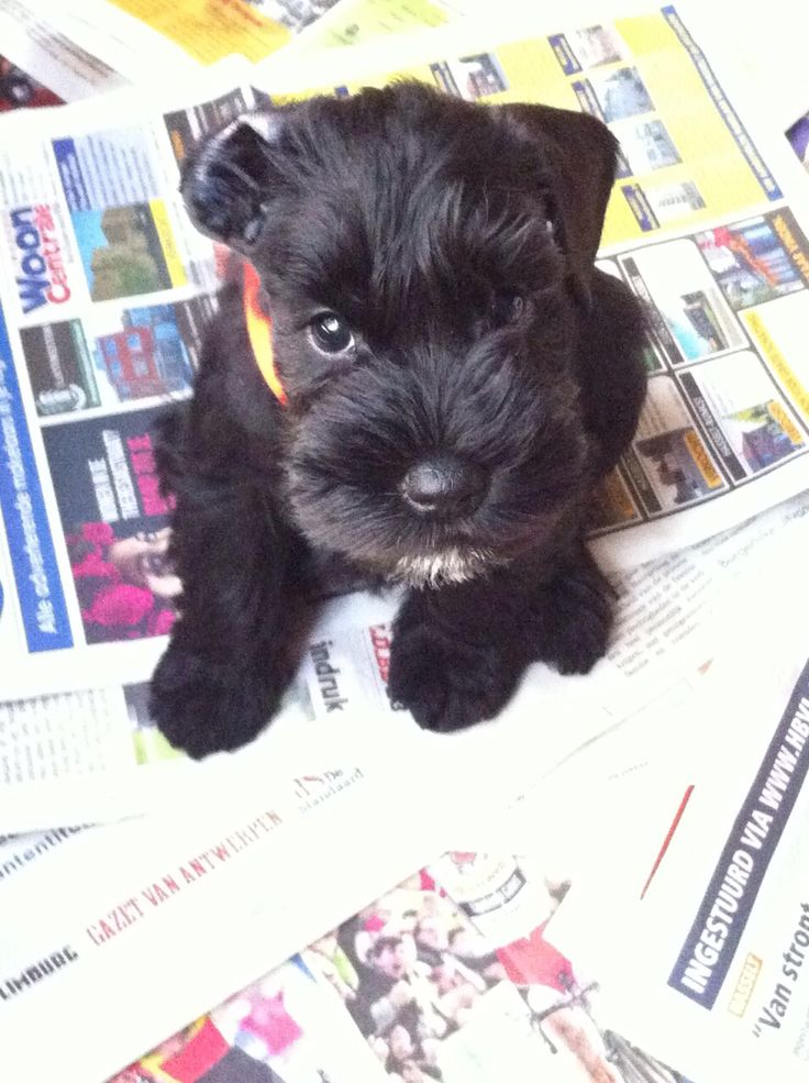Dwerg Schnauzer zwart  8 weken oud