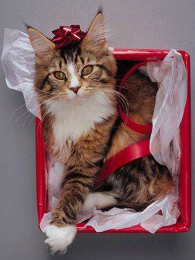 #Christmas #kitten - All wrapped up in the holidays.