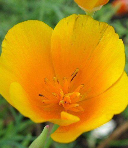 Guldvalmue. Orange. Eschscholzia californica.