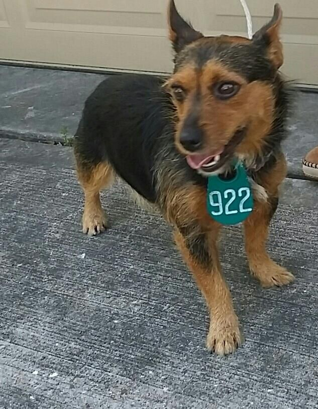 11/16/16-HOUSTON - SUPER URGENT - HIGH KILL FACILITY IS OVER CAPACITY -This DOG - ID#A472295 I am a male, tan and black Norwich Terrier mix. The shelter staff think I am about 3 years old. I have been at the shelter since Nov 14, 2016. This information was refreshed 48 minutes ago and may not represent all of the animals at the Harris County Public Health and Environmental Services.