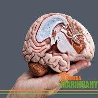 Léčebné konopí prokazatelně působí příznivě v případě potřeby zotavení se z úrazů hlavy, například otřesů mozku..