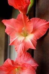 Gladiolus - August Flower
