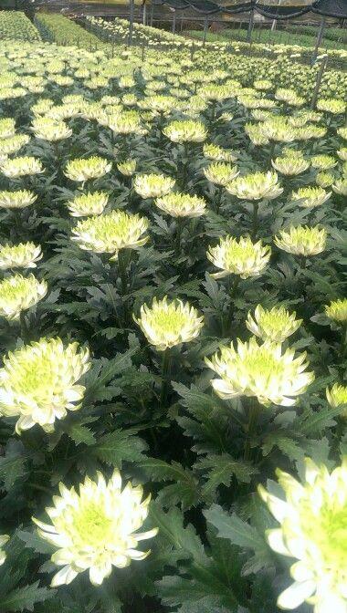 Disbuds 2tone white/green