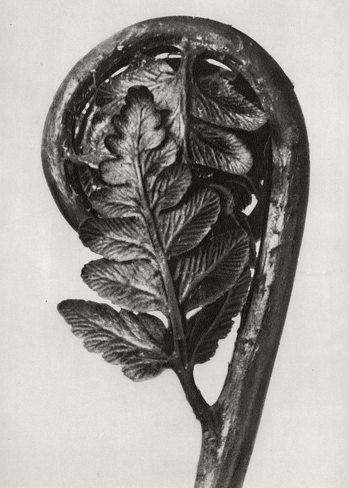 Biography: Fine Art / Botanical photographer Karl Blossfeldt | MONOVISIONS